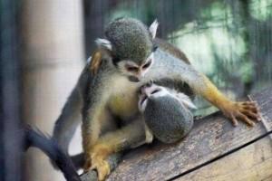 majmok szeretkeznek